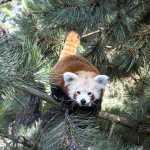 Himalaya-Gebirge_-_der_Rote_Panda_fuehlt_sich_schon_wohl__c___Zoo_Leipzig