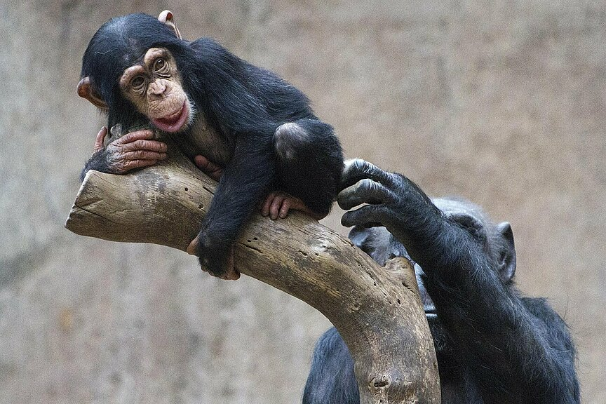 csm_Schimpansennachwuchs__c__Zoo_Leipzig_0aefce080d